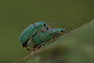 Groene bladsnuitkever.
