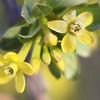 Ribes aureum I Think