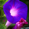 <h1>Ipomoea purpurea</h1>   I'm pretty sure these are Ipomoea purpurea morning glorys.  They are all naturalized around my property.