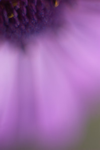 Purple Daisy Petals