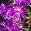 <h1>Succulent Dreams #2</h1>