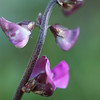 Hyacinth bean flower