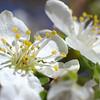 Plum Blossoms 2008