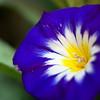Convolvulus tricolor Bloom