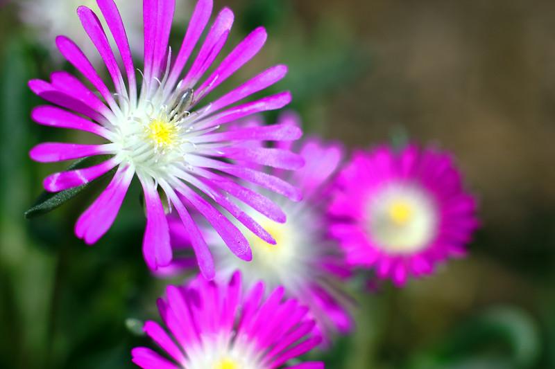 Multiple Delosperma floribundum blossoms
