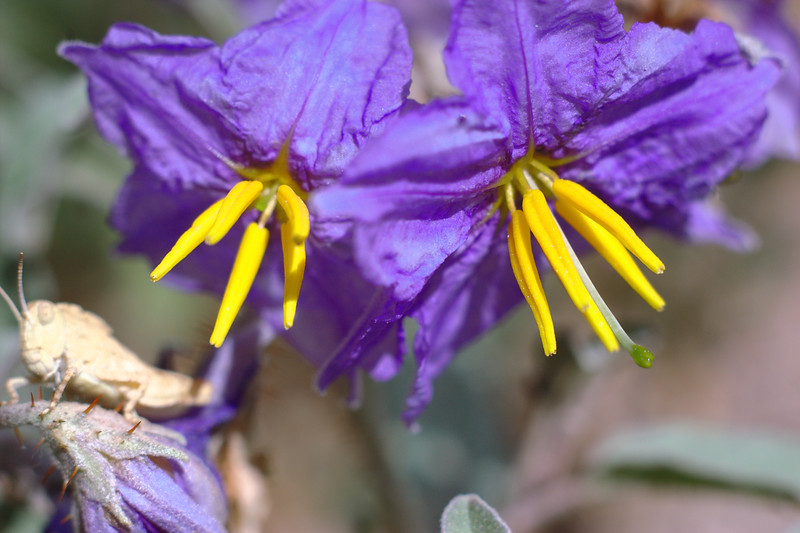 Two Silverleaf nightshade Blossoms with Grasshopper looking on.