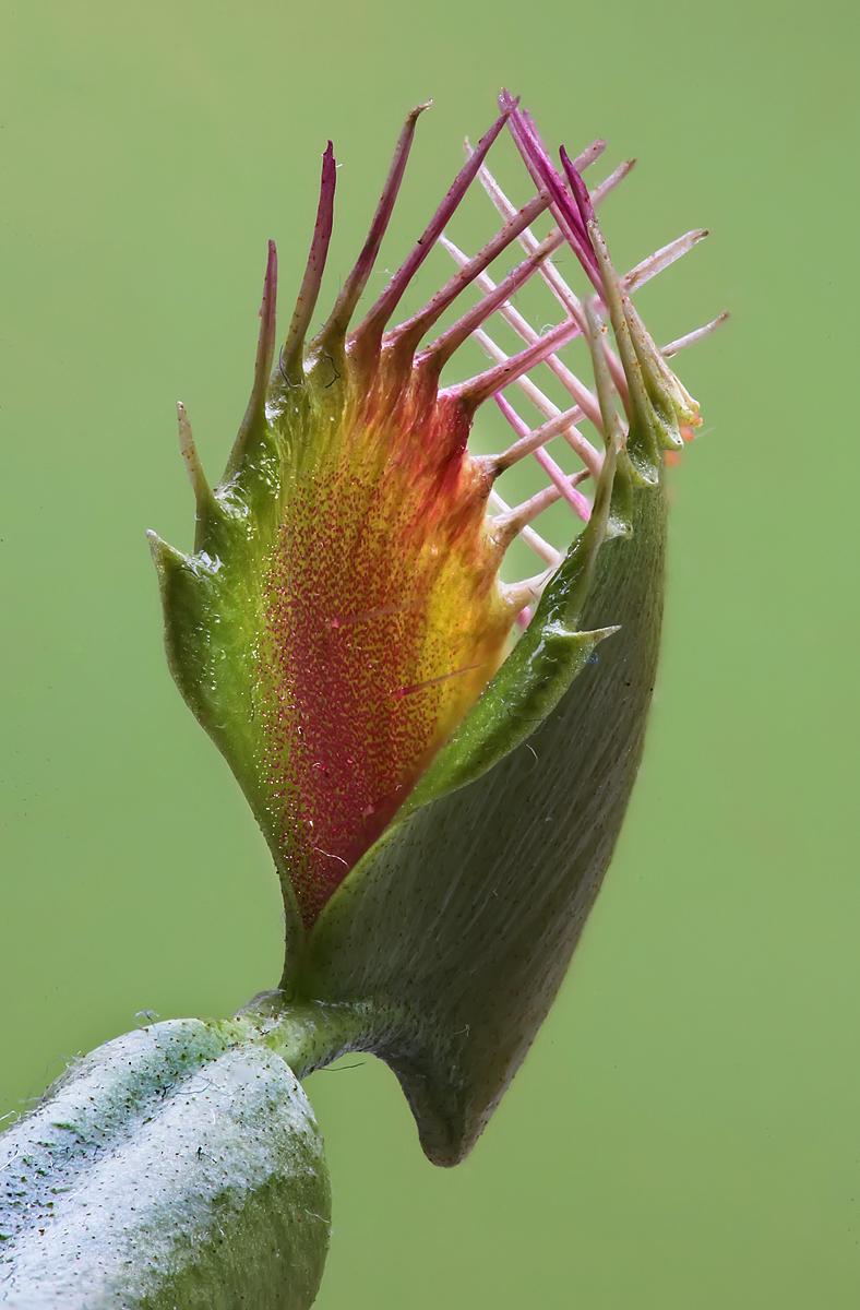 The Venus Flytrap, Dionaea muscipula.