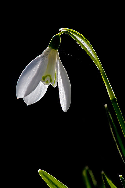 Back Light Snowdrop
