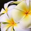 plumeria_flower