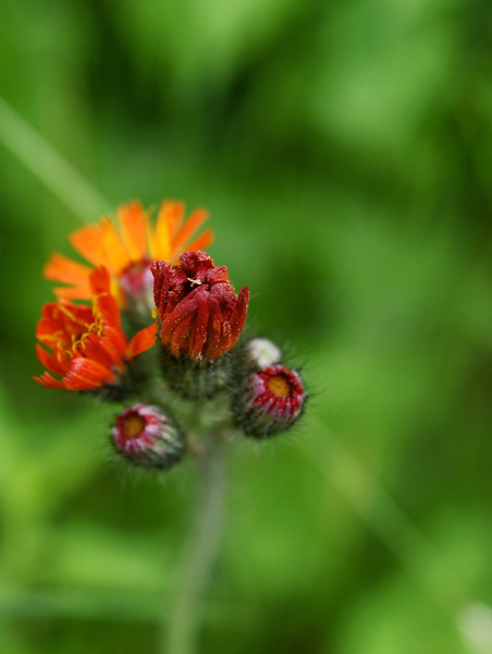 Orange Hawkweed ( Pilosella aurantiaca)
