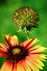 Blanket flower (Gaillardia aristata)