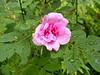 Wild Rose  (rosa acicularis)