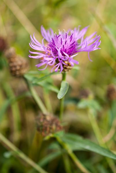 Cornflower ( Centaurea cyanus)