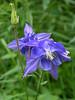 European Columbine (Aquilegia vulgaris)