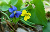 Common Blue Violet ( Viola sororia) and Roundleaf yellow violet ( Viola rotundifolia)