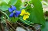 Common Blue Violet ( Viola sororia) and Roundleaf yellow violet ( Viola rotundifolia)