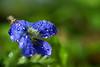 common Blue Violet ( Viola sororia)