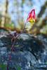 Wild Columbine ( Aquilegia canadensis)