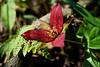Red Trillium ( trillium erectum)