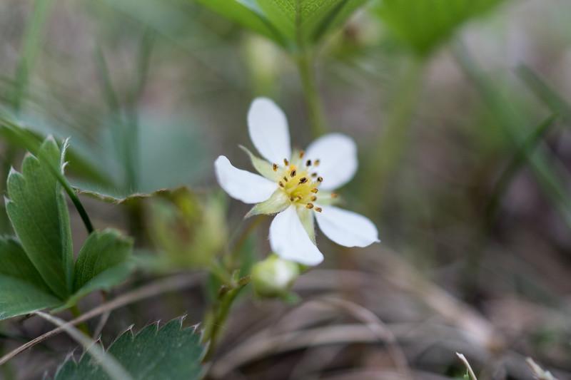 Wild Straberry Blossom ( Fragaria vesca)