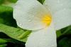 White Trillium (  Trillium grandiflorum)