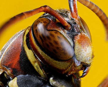 Wasp Face