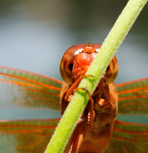 Inquisitive Red Dragonfly