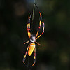 <strong><center>Spider Woman</strong></center> The female Golden Silk Orb Weavers are quite large (body 2-4 cm) with silvery-grey to plum coloured bodies and brown-black, often yellow banded legs. The males on the other hand are tiny (5 mm) and red-brown to brown in color – not at all as nice as this….. These spiders remain in their webs day and night and gain some protection from bird attack by the presence of a 'barrier network' of threads on one or both sides of the orb web. Sometimes their strong webs manage to trap small birds or bats, and the spider will wrap them and feed upon them. Commoner prey items include flies, beetles, locusts, wood moths and cicadas.