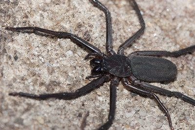 Close-up of a Major Flat Spider