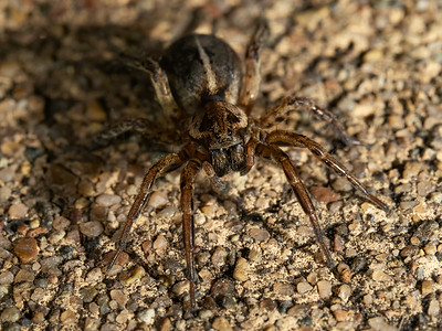 Striped Wolf Spider