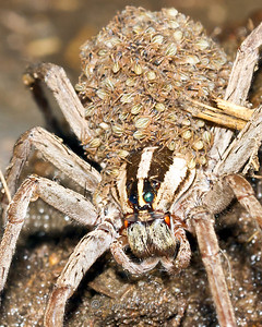 Wolf Spider & Family September 2, 2011