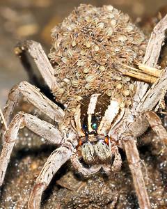 Wolf Spider & Family September 2, 2011