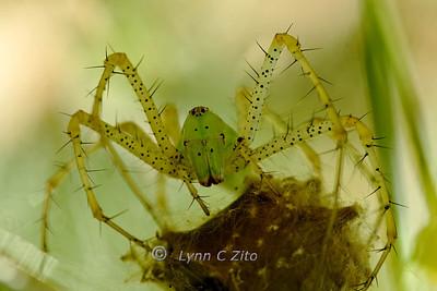LYNX SPIDER MAMA