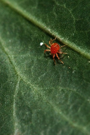 A red spider mite taken with reversed lense. As you know these guys are very tiny.