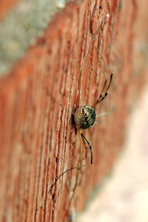 Daddy long legs on Jenny's house
