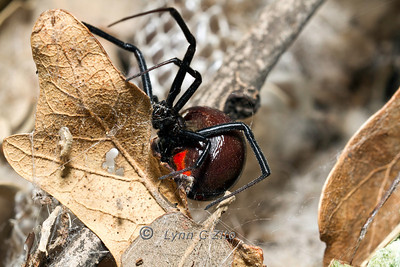 Black Widow October 30, 2011