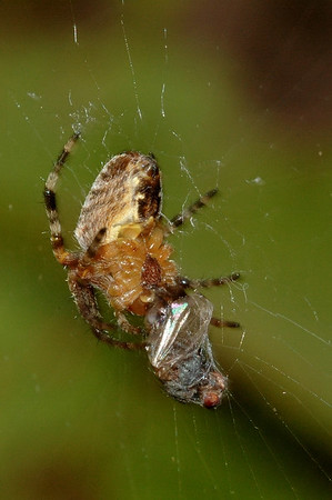 Another spider from Seattle