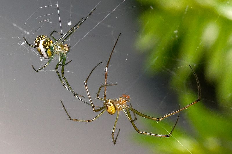 Leucauge venusta male/female pair.  Male has longer legs and smaller abdomen