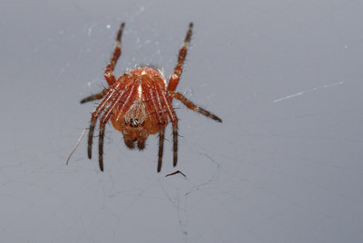 This is a little red spider that seems to be the male version of the bigger one that is curled in the leaf. They were sharing the same web. Tokyo