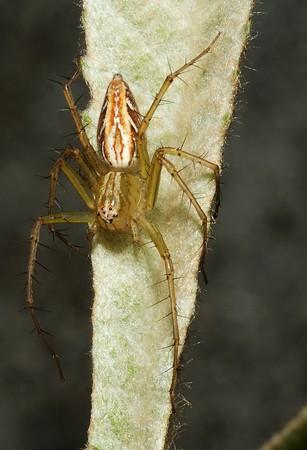 I found this spider on my neighbor's biwa seedling.