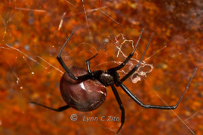 Juvi Black Widow October 30, 2011