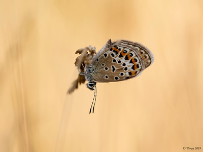 Icarusblauwtje.