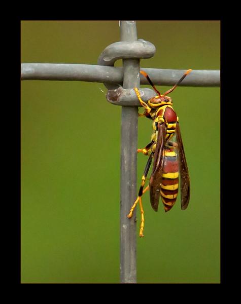 Polistes Exclamans aka Guinea Wasp