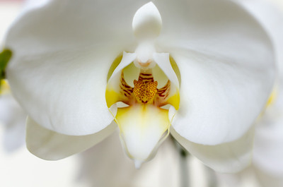 Orchid, homage to O'Keeffe