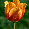 Tulip with Morning Dew 4/23/17