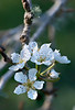 Pear Blossoms. 15x Stack with Nikon D800E, 200mm Micro-Nikkor @ f11 & Stackshot.