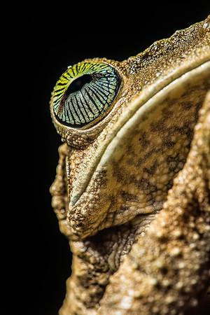 Gladiator Frog 1