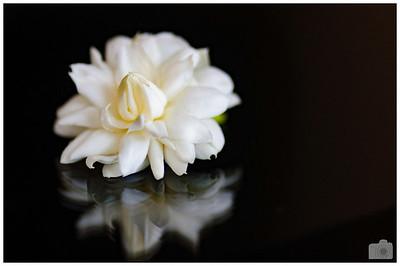A Jasmine flower