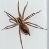 Big Hairy Spider 10/29/16