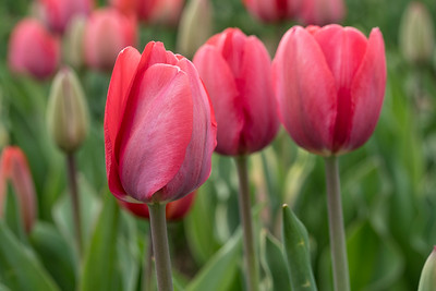 Three Pink Wicked Tulips_7592